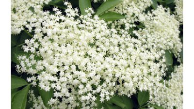 Suffering From Summer Allergies? Elder Flower to the Rescue